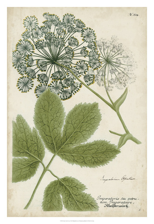 Queen Anne's Lace Giclee Print by  Weinmann