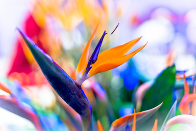 Crane Flower or Bird of Paradise Photographic Print by  warasit