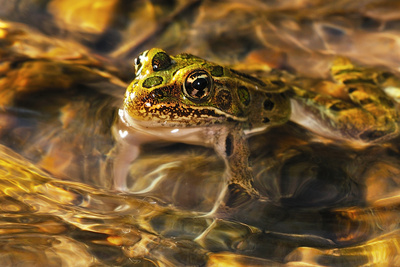 Frog Photographic Print by Gordon Semmens