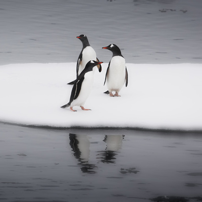 Antarctica. Gentoo Penguins Standing on Sea Ice with Reflection Photographic Print by Janet Muir
