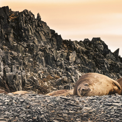 Antarctica Peninsula, Elephant Seal Rests on the Rocks Photographic Print by Janet Muir