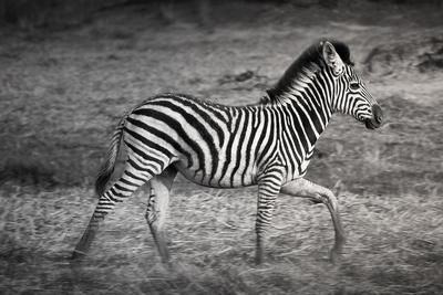 Shinde Camp, Okavango Delta, Botswana, Africa. Young Plains Zebra Photographic Print by Janet Muir
