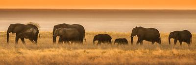Etosha NP, Namibia, Africa. Elephants Walk in a Line at Sunset Fotografisk tryk af Janet Muir