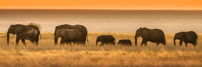 Etosha NP, Namibia, Africa. Elephants Walk in a Line at Sunset Photographic Print by Janet Muir