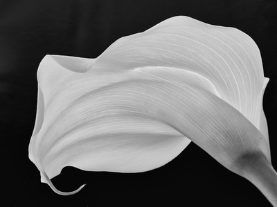 Backlit Calla Lily Photographic Print by John Ford