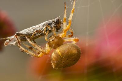 USA, Colorado, Jefferson County. Orb-Weaver Spider with Prey Photographic Print by Cathy & Gordon Illg