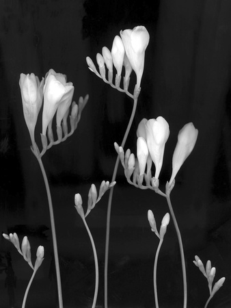 Freesia Photographic Print by Anna Miller