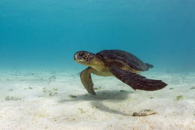 Galapagos Green Sea Turtle Underwater, Galapagos Islands, Ecuador Fotografie-Druck von Pete Oxford