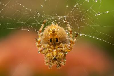 USA, Colorado, Jefferson County. Orb-Weaver Spider on Web Photographic Print by Cathy & Gordon Illg