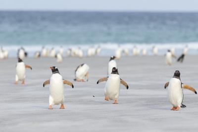 Gentoo Penguin Walking to their Rookery, Falkland Islands Fotografisk tryk af Martin Zwick