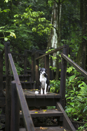 A Dog Waiting on Stairs, Semuc Champey Pools, Alta Verapaz, Guatemala Photographic Print by Micah Wright