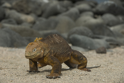 Galapagos Land Iguana, North Seymour Island Galapagos Islands, Ecuador Photographic Print by Pete Oxford