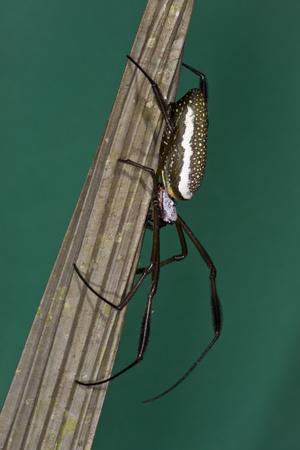 Golden Silk Spider, Yasuni NP, Amazon Rainforest, Ecuador Photographic Print by Pete Oxford
