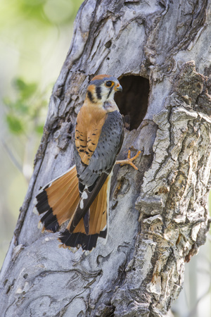USA, Wyoming, Sublette County, Male American Kestrel at Nest Cavity Stampa fotografica di Elizabeth Boehm