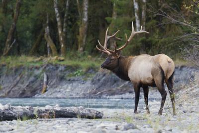 Roosevelt Bull Elk Photographic Print by Ken Archer