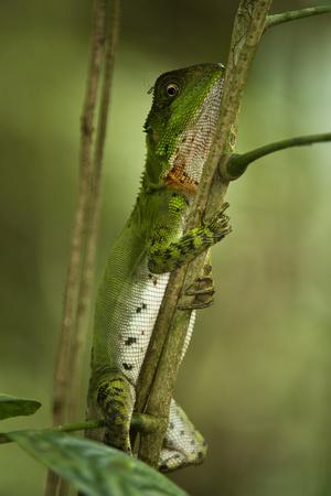 Guichenot's Dwarf Iguana, Yasuni NP, Amazon Rainforest, Ecuador Fotografie-Druck von Pete Oxford