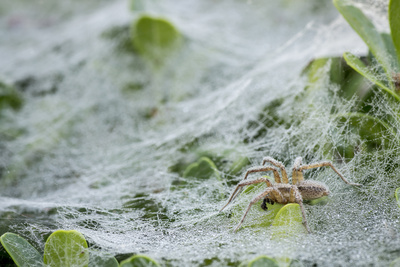 Sheet Spiders with Webs, Los Angeles, California Photographic Print by Rob Sheppard
