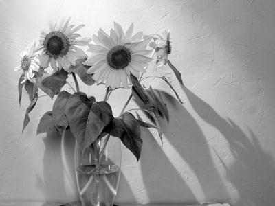 Sunflower Photo by Anna Miller