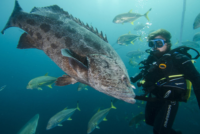Potato Cod, Diver and Blacktip Trevally, KwaZulu-Natal, South Africa Photo by Pete Oxford