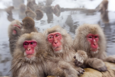 Japanese Macaque, Snow Monkey, Joshin-etsu NP, Honshu, Japan Fotografía por Peter Adams