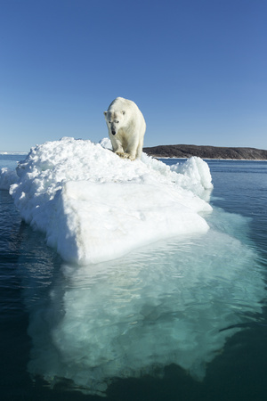 Canada, Nunavut Territory, Polar Bear on an Iceberg in Hudson Bay Photo by Paul Souders