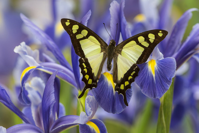 Glassy Bluebottle Butterfly, Graphium Cloanthus Sumatranum Photo by Darrell Gulin