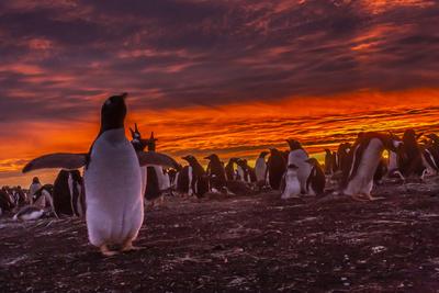 Falkland Islands, Sea Lion Island. Gentoo Penguin Colony at Sunset Photo by Cathy & Gordon Illg