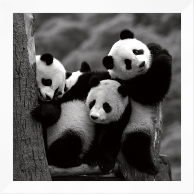 Pandas Framed Canvas Print by Danita Delimont