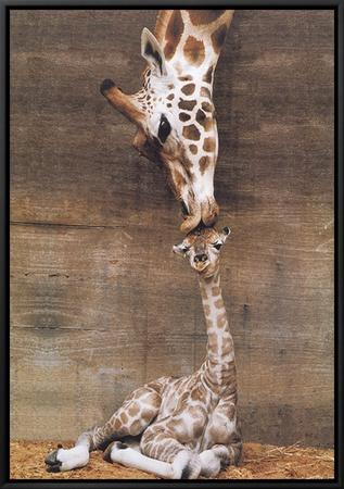 Giraffe, First Kiss Framed Canvas Print by Ron D'Raine