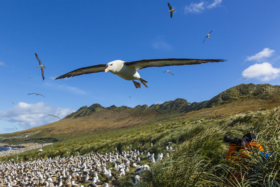 A Close Up of a Black-Browed Albatross in Flight on Steeple Jason Island in the Falkland Islands Photographic Print by Ralph Lee Hopkins