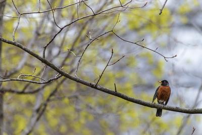 A Juvenile American Robin, Turdus Migratorius, Perched on a Tree Branch Stampa fotografica di Babak Tafreshi