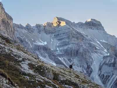 A Chamois Antelope Goat, Rupicapra Rupicapra, Pauses on the Edge of a Cliff Fotoprint av Ulla Lohmann
