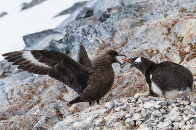 A Brown Skua Attacks a Gentoo Penguin Nest Near Port Lockroy, Antarctica Photographic Print by Ralph Lee Hopkins