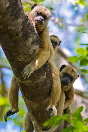 Three Howler Monkeys Looking Down from a Tree Branch in the Brazilian Pantanal Photographic Print by Steve Winter