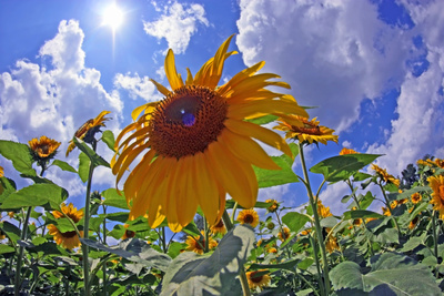 Sun Shines on a Field of Sunflowers Photographic Print by Donna O'Meara