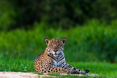 A Portrait of a Wild Jaguar Resting on the Banks of the Cuiaba River, in the Pantanal Photographic Print by Steve Winter