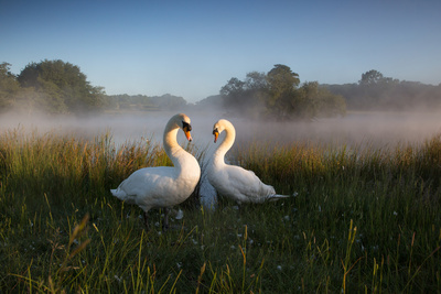 A Pair of Mute Swans, Cygnus Olor, Emerge from the Water on a Misty Morning in Richmond Park Photographic Print by Alex Saberi