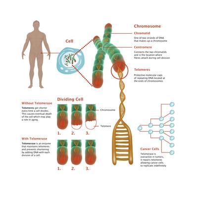 Chromosomes & Telomerase, Illustration Prints by Gwen Shockey