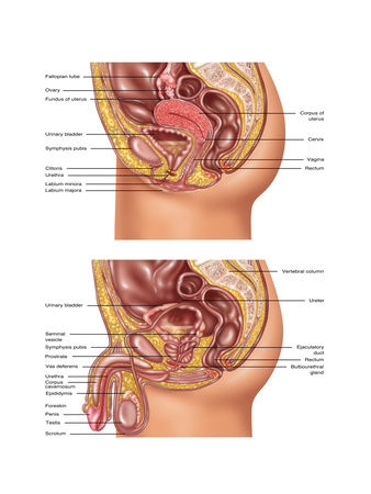 Female & Male Reproductive Anatomy, Illustration Posters by Gwen Shockey