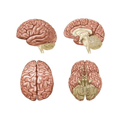 Brain Anatomy, Illustration Prints by Gwen Shockey