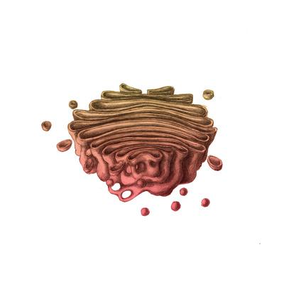Golgi Apparatus Prints by Spencer Sutton