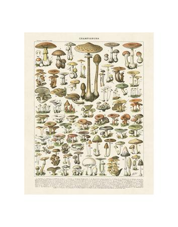 Champignons I Kunstdrucke von Adolphe Millot