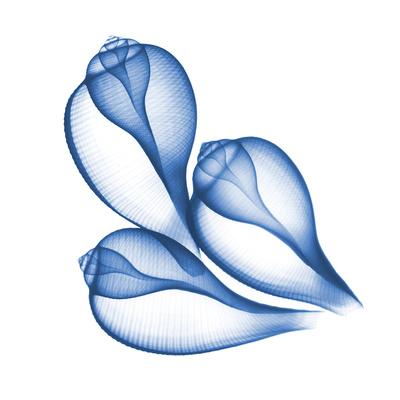Blue Three Conch Posters by Albert Koetsier