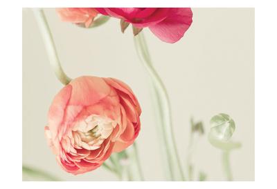 Ranunculus 1 Print by Tracey Telik
