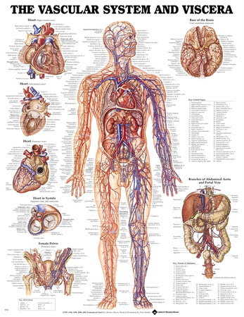 The Vascular System And Viscera Anatomical Chart Poster Posters