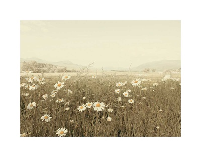 Field of Daisies Print by Ian Winstanley