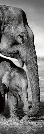 Indian Elephants Posters by Danita Delimont
