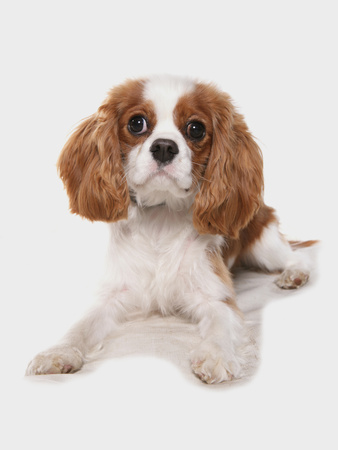 Domestic Dog, Cavalier King Charles Spaniel, puppy, laying Photographic Print by Chris Brignell