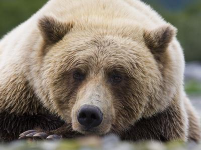 Grizzly Bear (Ursus arctos horribilis) adult, close-up of head, resting, Katmai Photographic Print by David Tipling