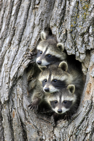 Common Raccoon (Procyon lotor) three young, at den entrance in tree trunk, Minnesota, USA Photographic Print by Jurgen & Christine Sohns